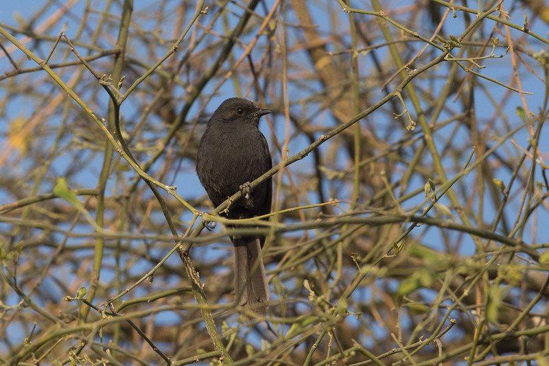 Northen Black Flycatcher