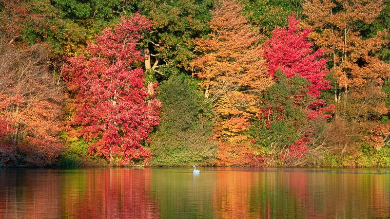 _V850449 Swan lake yellow2.jpg