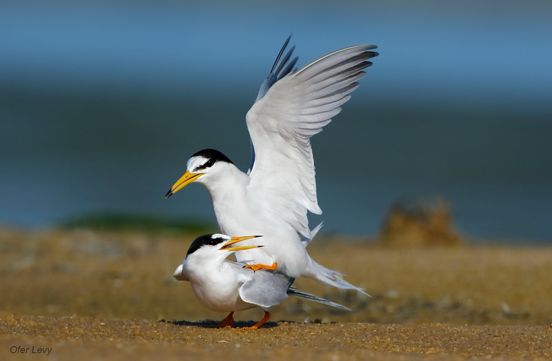 Little Tern mating 3 MASTER.jpg