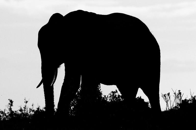 Elelphant_John Hoffman.jpg