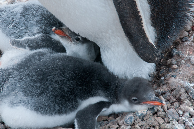 Gento penguin chicks in Paradise Bay