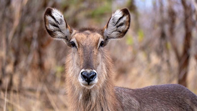 Tanzania-Tarangire-National-Park-Safari-Waterbuck-03.jpg