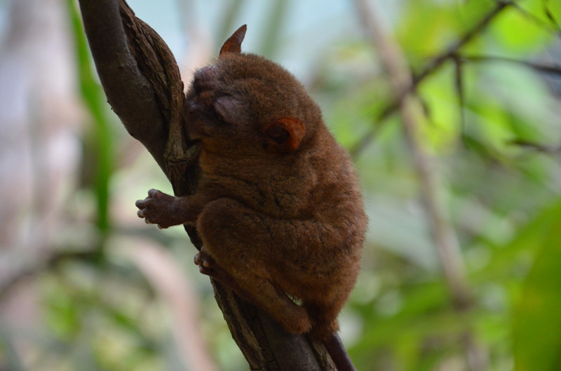 DSC_7143-tarsier-on-a-vine.JPG