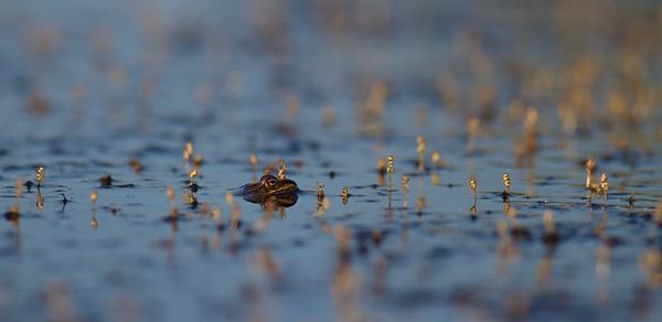 miscl amphibians