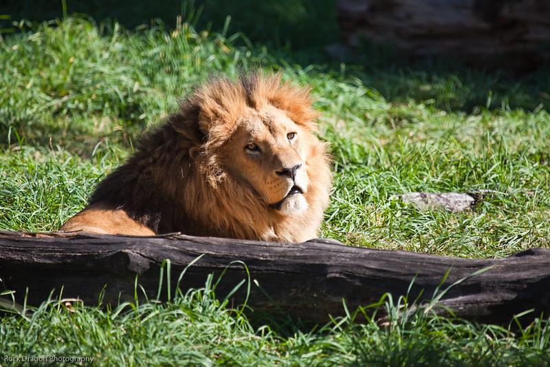 African Lion, Calgary Zoo, Sept. 27