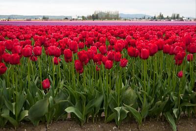 Skagit Valley Tulip Festival 2010
