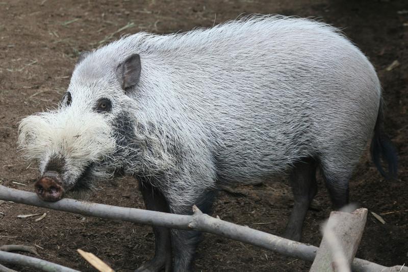 BEARDED PIG - SABAH, MALAYSIA