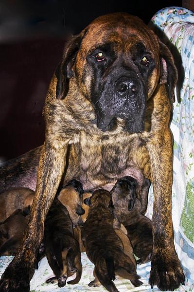 Mastif Mom nursing  .jpg
