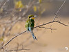 Swallow Tailed Bee-eater 2