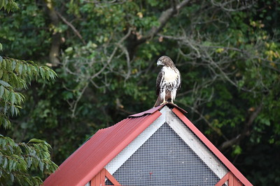Hawk on Chicken Coop
