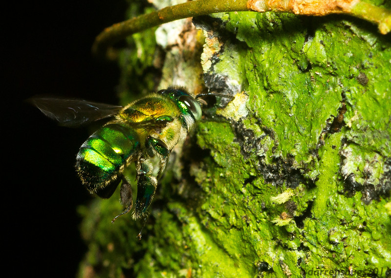 """An orchid bee, Euglossa sp., hovers over a drop of eucalyptus oil used as """"bait"""" in Panama. Males of this genus have specially equipped legs that they use to sequester volatile compounds from flowers they visit. They store this fragrance until mating, when they release it to attract females."""
