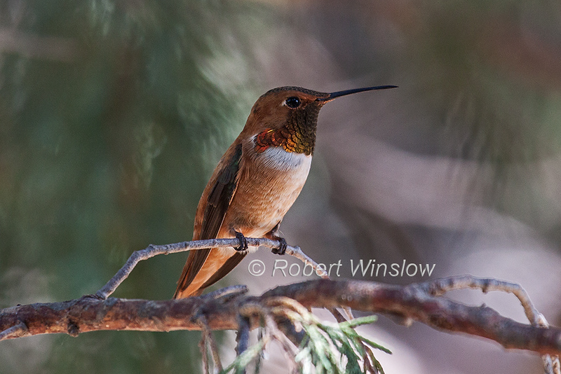 Rufous hummingbird, Selasphorus rufus, La Plata County, Coloradio, USA, North America