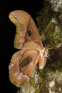 Lepidoptera - Ecuador - Adults