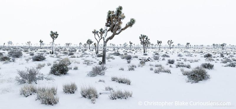 Joshua Tree Bright Snow One