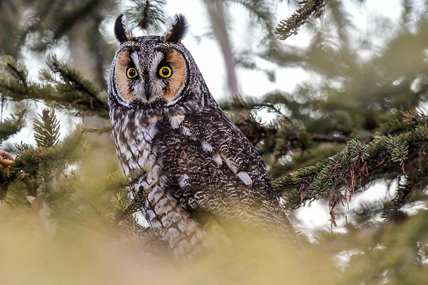 1-18-16 **Long-eared Owl