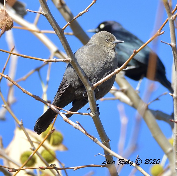 Female Brewer's Blackbird - 12/28/2019 - Lake Wohford