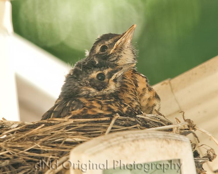 079 Baby Robins Spring 2013.jpg