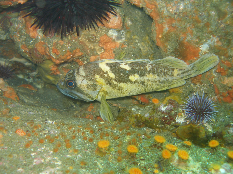 Taken at Frenchy's cove at approx 55ft, great location for a variety of Rockfish.