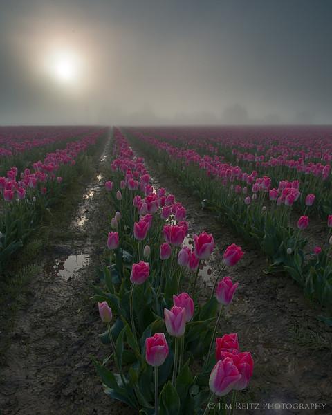 Skagit Valley Tulip Festival - foggy sunrise