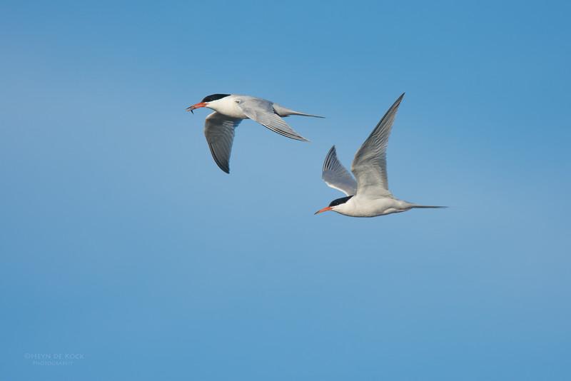 Roseate Tern, Lady Elliot Island, QLD, Dec 2015-6.jpg