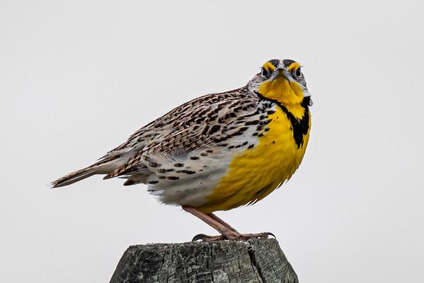 5-7-20 Western Meadowlark