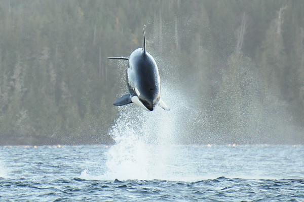 Killer whales / Orca