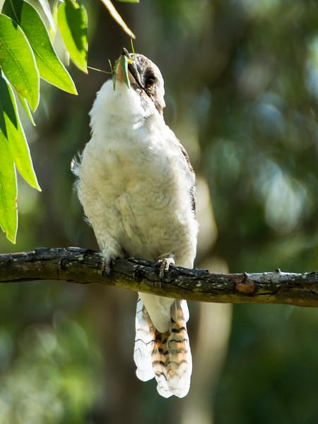 Kookaburra swallowing phasmid