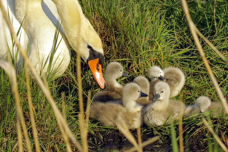 Mute Swan with Chicks