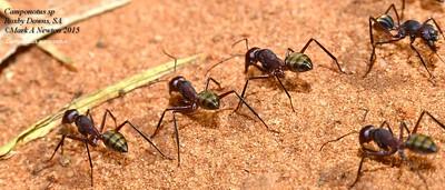 Camponotus - Carpenter ants