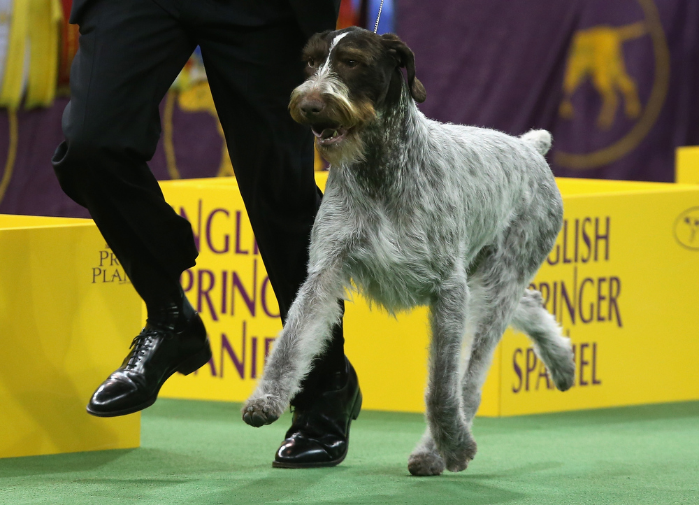 Description of . German Wirehaired Pointer Gch Mt. View's Ripsortersilvercharm runs during the Sporting Group competition at the 137th Westminster Kennel Club Dog Show on February 12, 2013 in New York City. Best of breed dogs competed for Best in Show at Madison Square Garden Tuesday night. A total of 2,721 dogs from 187 breeds and varieties competed in the event, hailed by organizers as the second oldest sporting competition in America, after the Kentucky Derby.  (Photo by John Moore/Getty Images)