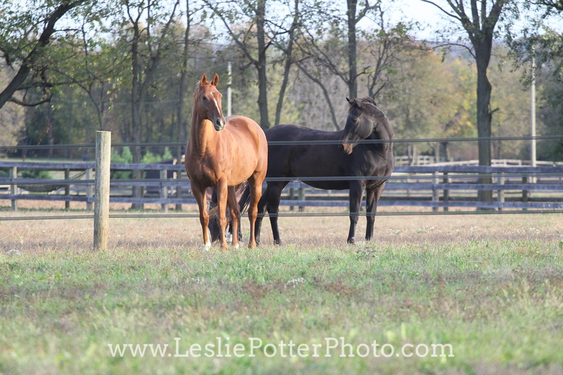 Horses in Pasture Separated by Electric Tape Fence
