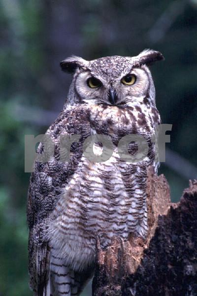 Great horned owl2.jpg