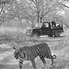 Wild tiger crossing the forest track in Ranthambhore national park, while a film crew shoots.