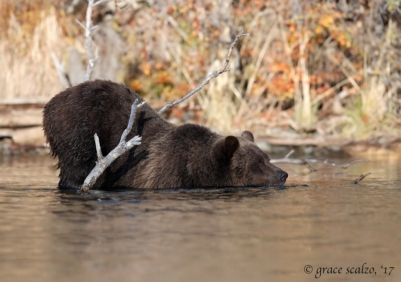 Grizzly bear fishing sequence #2
