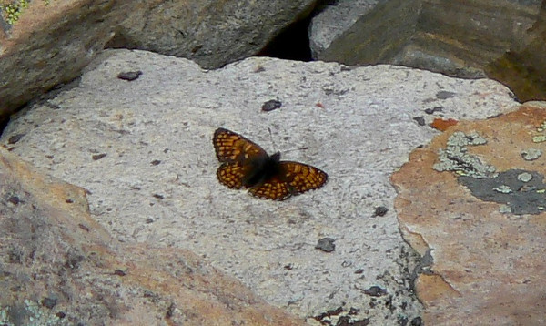 636RockslideCkrspot July 4, 2010 - 2:31 p.m.  P1060636 Rockslide checkerspot, Chlosyne whitneyi.  Horseshow Mountain at snow crossing.