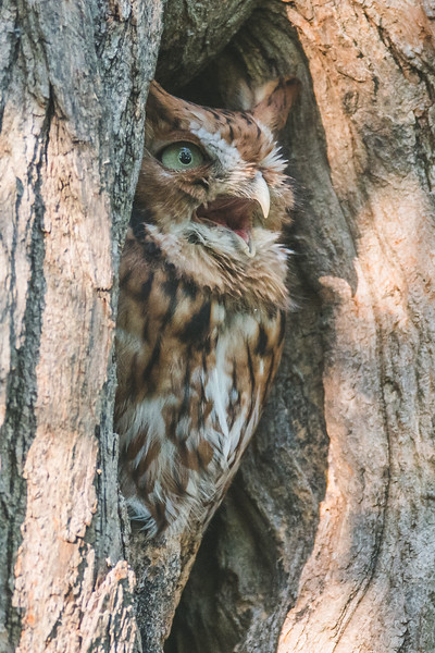 An Eastern Screech Owl at the Celery Bog in West Lafayette, Indiana