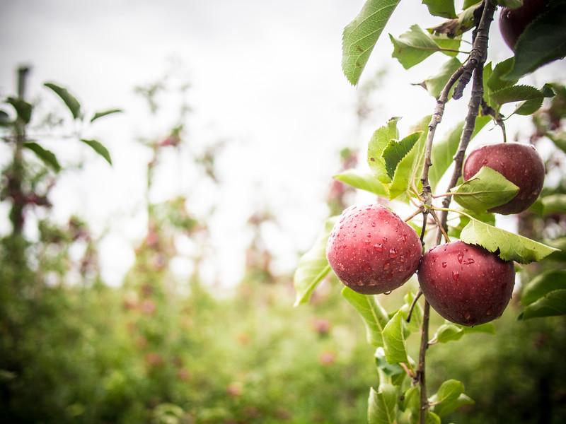 red prince apples 5.jpg
