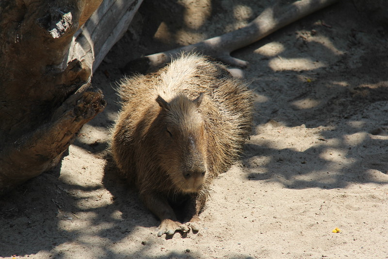 20170807-074 - San Diego Zoo - Capybara.JPG