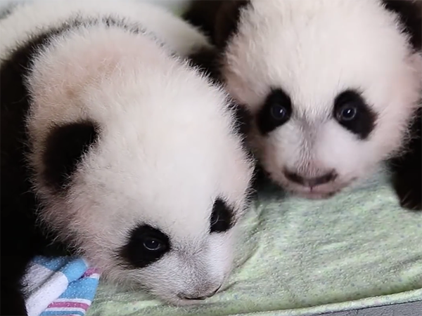 Atlanta panda twins get culture shock on return to China