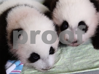 giant-panda-twins-born-in-us-return-to-china-but-struggle-with-the-language-and-food