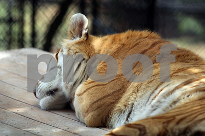 6/16/18 Big Cats At Tiger Creek Animal Sanctuary by Lisa Pierce