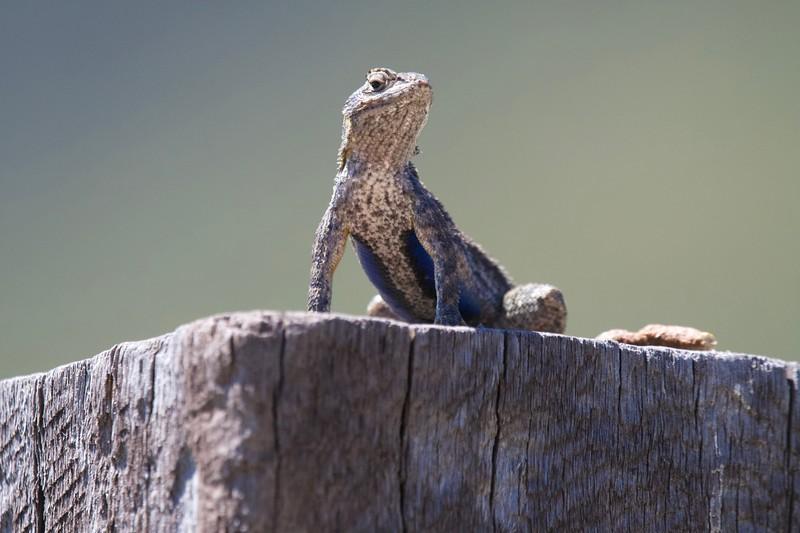 Western Fence-Lizard (Sceloporus occidentalis)