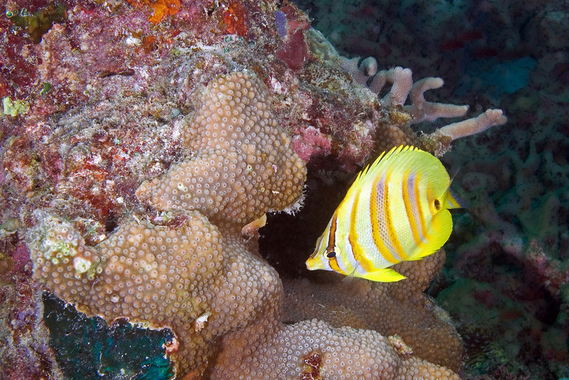 Eight Banded Coral Fish.jpg