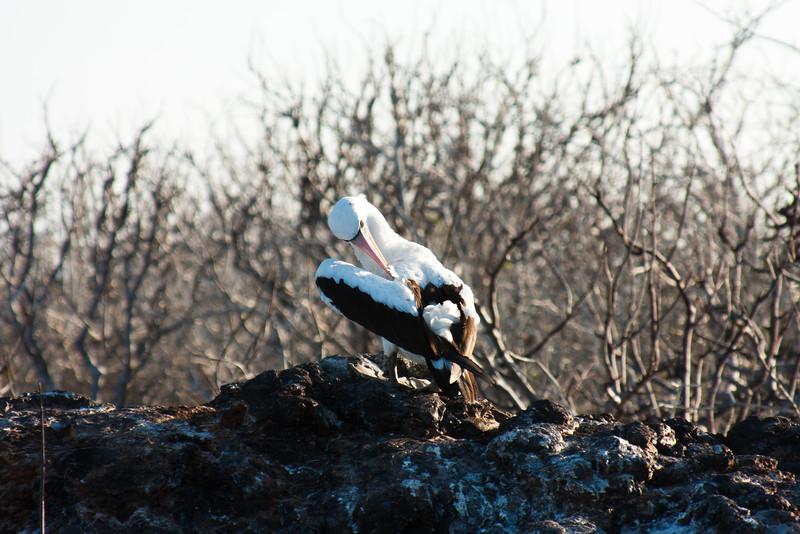 Nazca Booby Nesting : Journey into Genovesa Island in the Galapagos Archipelago