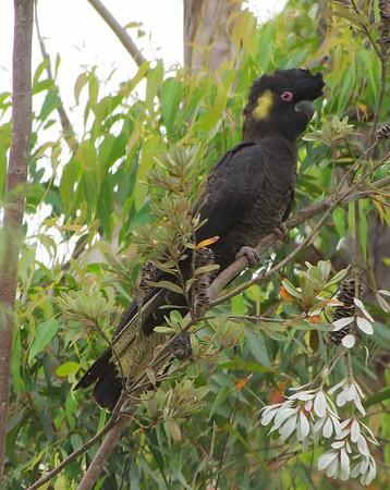 Whipbird birds