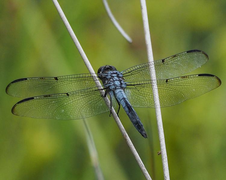 Bar-winged Skimmer, male