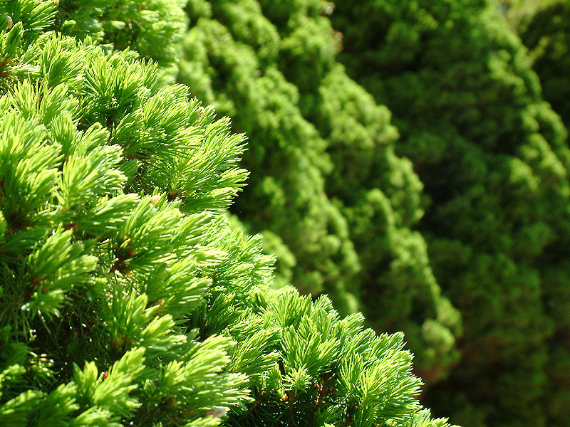 Sandwich - Coniferous Trees.jpg