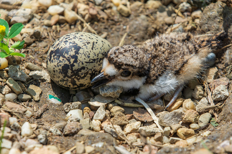 Killdeer-hatchling-withunhatchedegg.jpg
