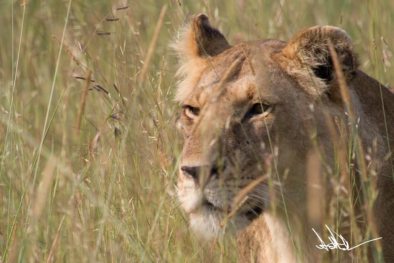 Lions Masai Mara - S-25.jpg