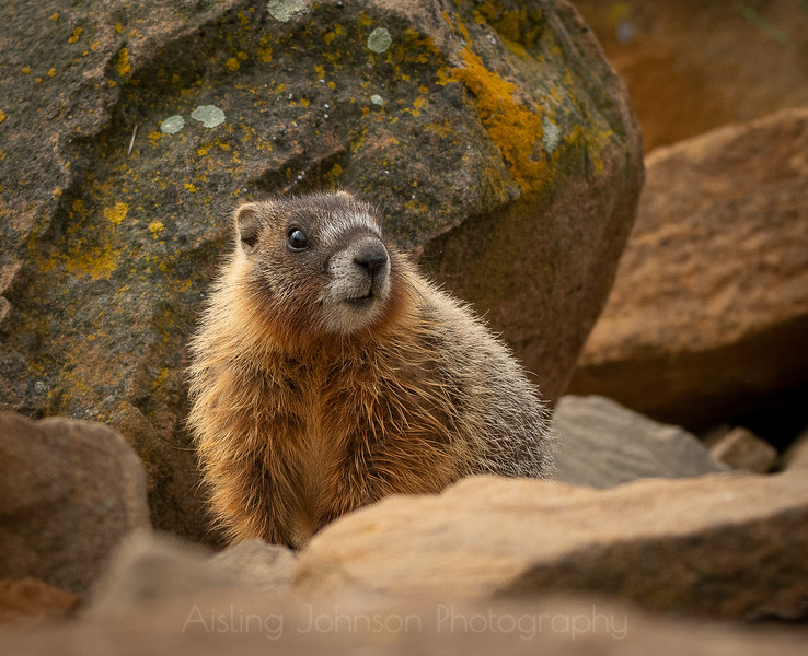 Juvenile yellow-bellied marmot